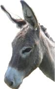 palestinian donkey