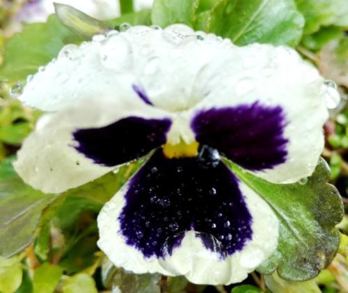 flores lent