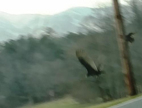 turkey vultures buzzards
