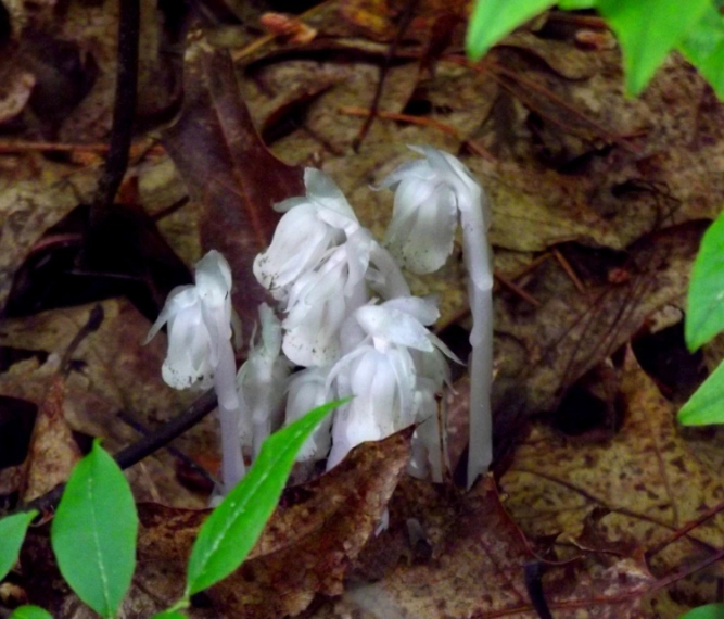 corpse flowers 1