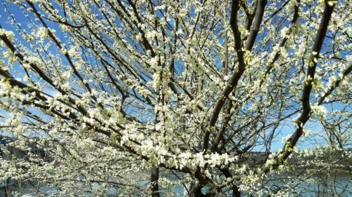 flores popcorn tree