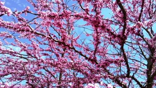 flores popcorn tree-