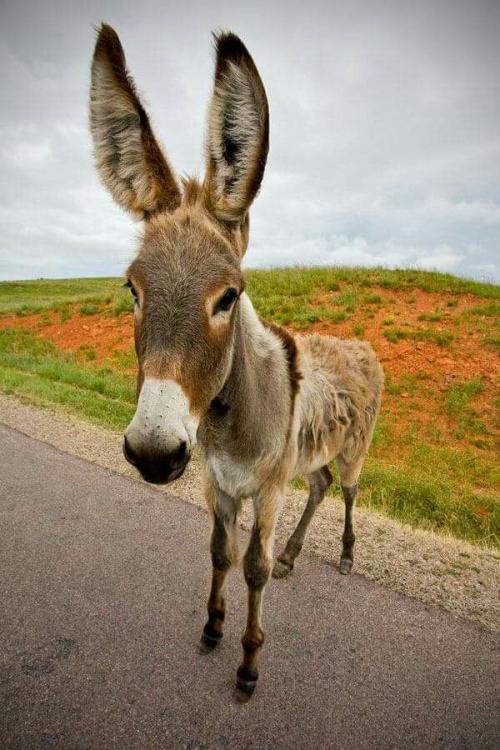 mangy-donkey