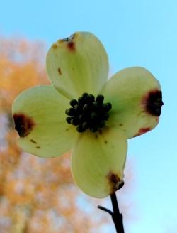 flores dogwood