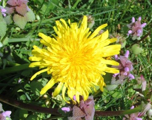 flores dandelion