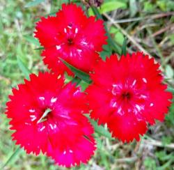 flores red
