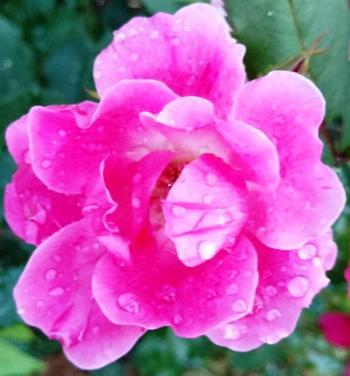 flores rorate caeli