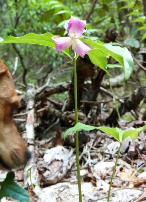 flores trilium