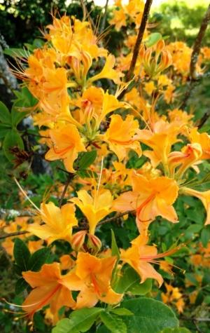 flores flaming azaleas