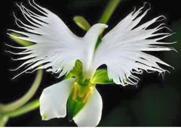 ~ ORQUÍEA ~  Flor do Espírito Santo
