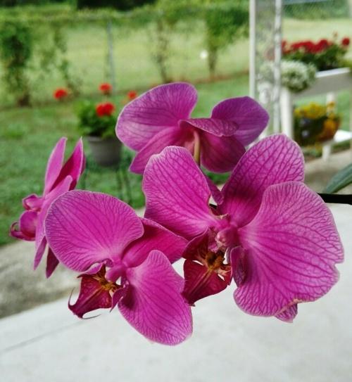 flores orchid