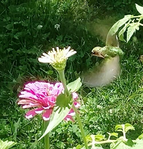 flores hummingbird