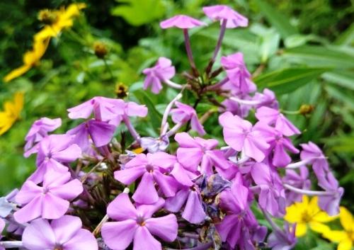 flores - purple