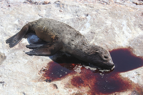 BLUDGEONED SEAL