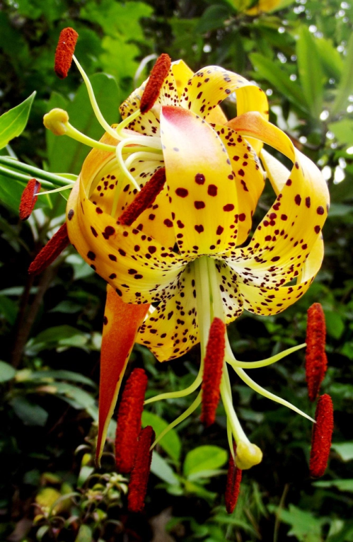 flores - holy souls lilies