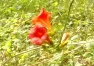 flores trumpet 2