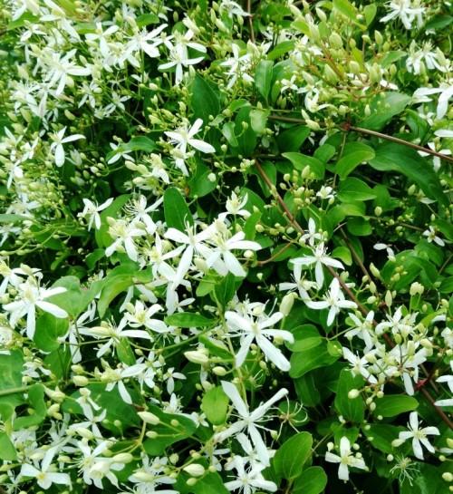 flores white vine