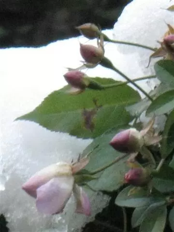 flores-lourdes-grotto-ice-roses