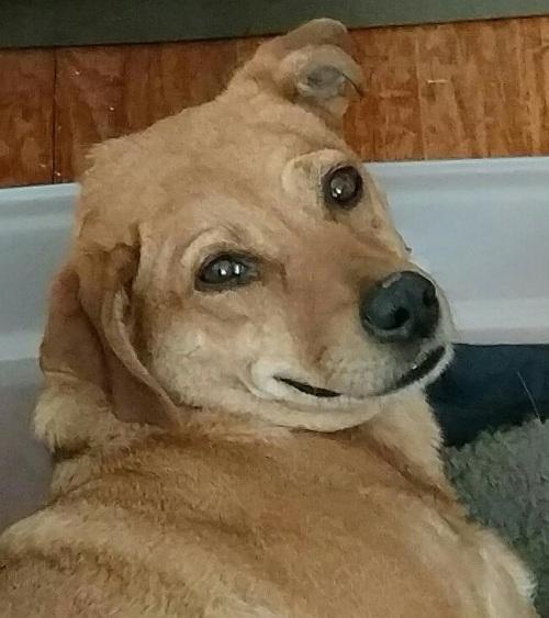 laudie-dog-ptsd-dog