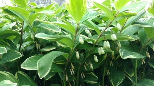 flores polygonatum