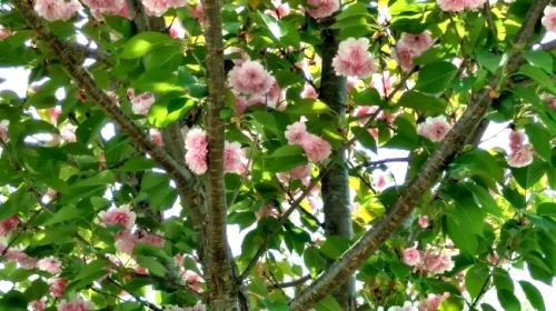 flores rose bush
