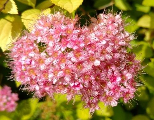 flores zillion pink