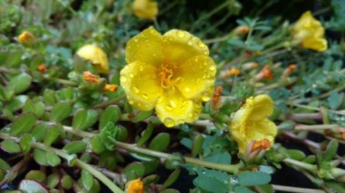 flores dew