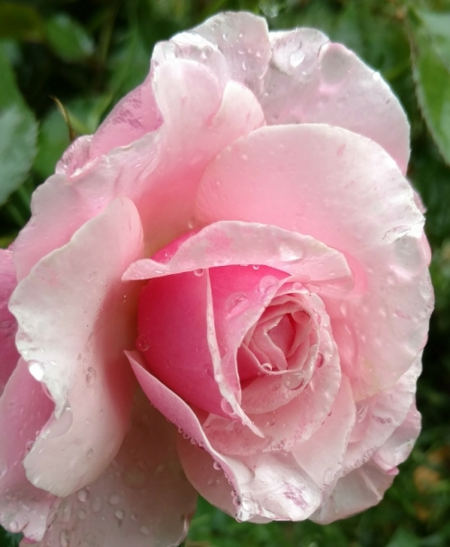 flores guadalupe rose