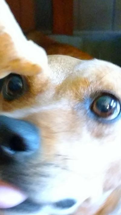 laudie-dog hypnotism