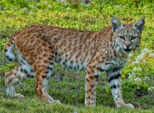 appalachian bobcat