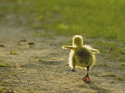 duck chick walk