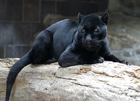 jaguar wikimedia