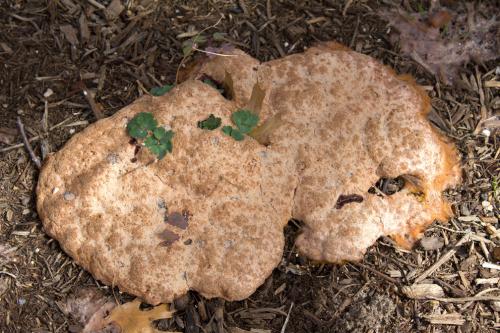vomit mushroom