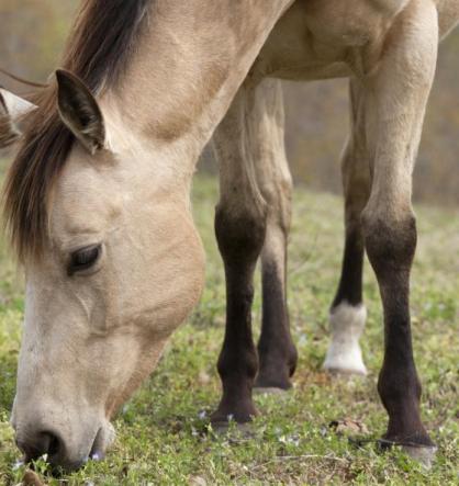 buckwheat horse