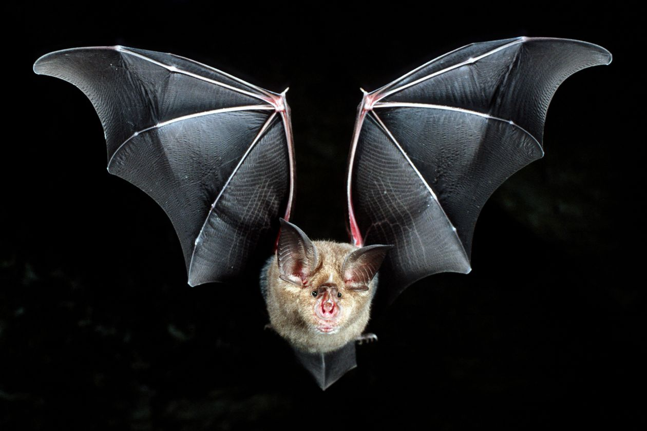 horseshoe bats in china wsj